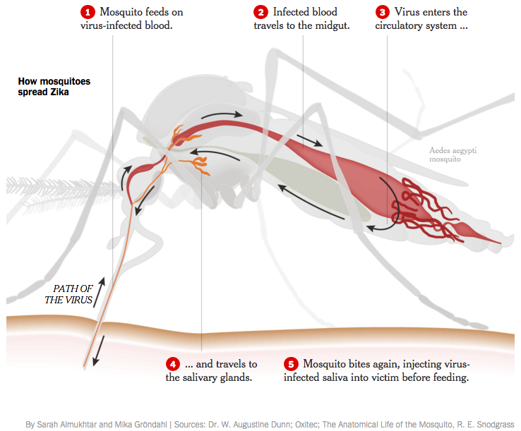 NYT mosquito cross section